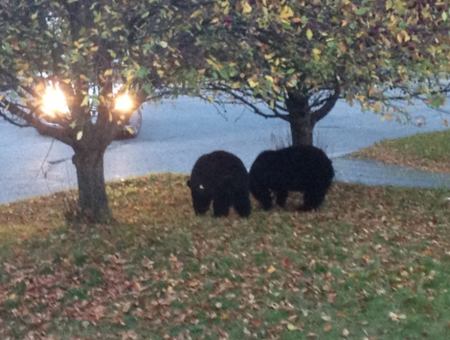 bears eating hot tub covers canada