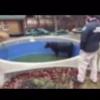 Cows Like Swimming, Too!