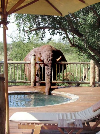 elephant drinks from hot tub